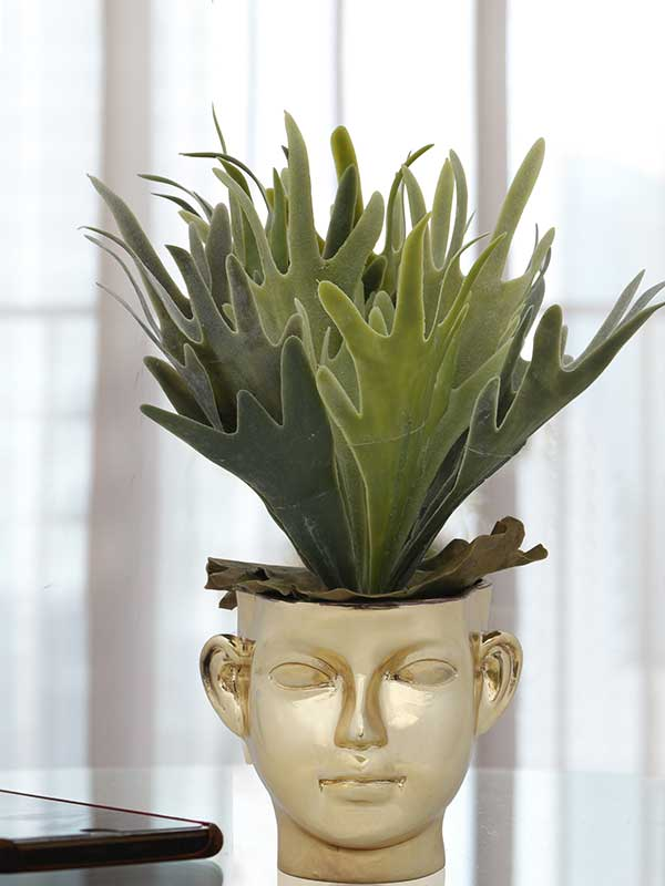 Aralia Face Potted Plant
